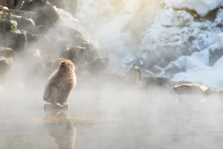 Snow monkey Macaque in hot spring - Japan Guide