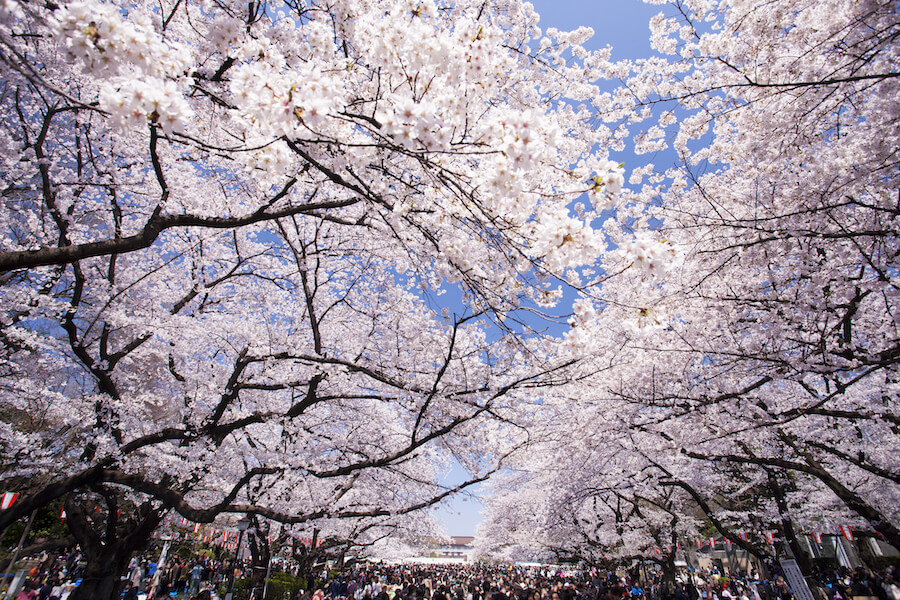 Beautiful Cherry trees with blossoming flowers in Ueno Park, Cherry Blossom Viewing Guide