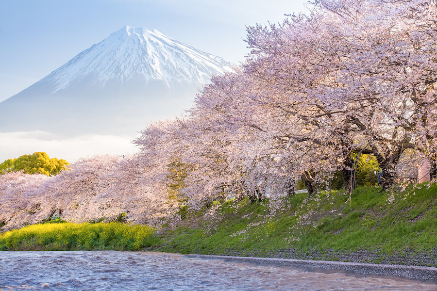 Mount Fuji Cherry Blossom Viewing Guide