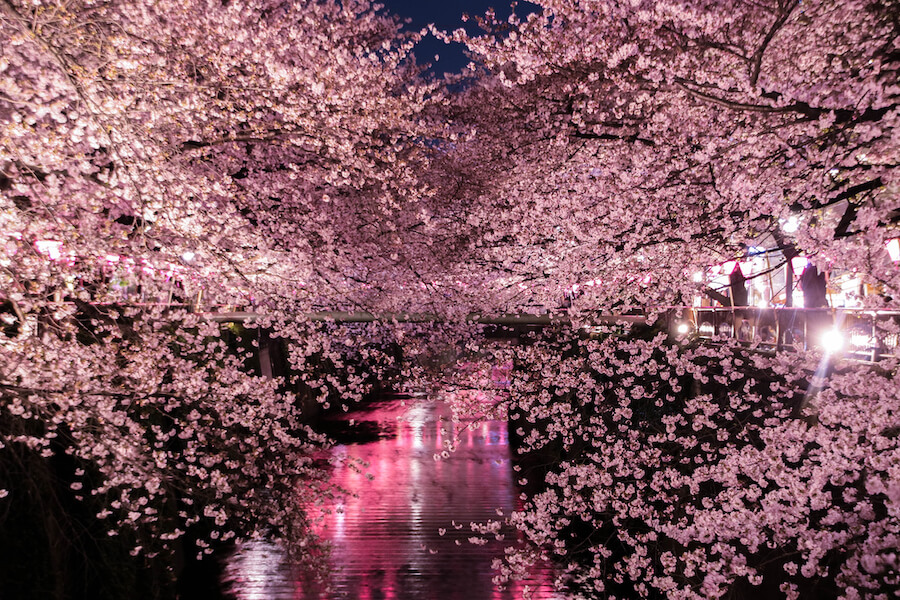 The cherry blossoms Special light up in Tokyo Cherry Blossom Viewing Guide