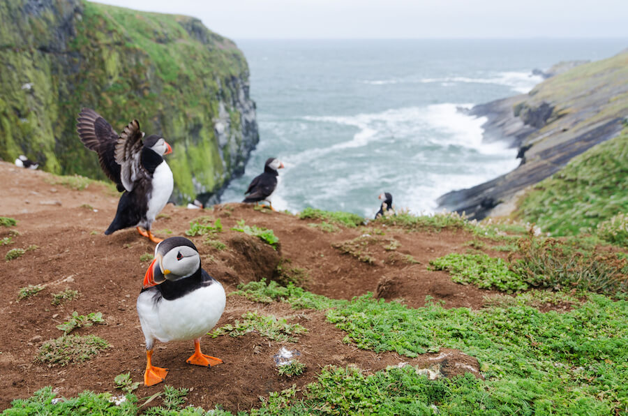 Atlantic Puffin Skomer Island, Wales - Best places to visit each month of the year