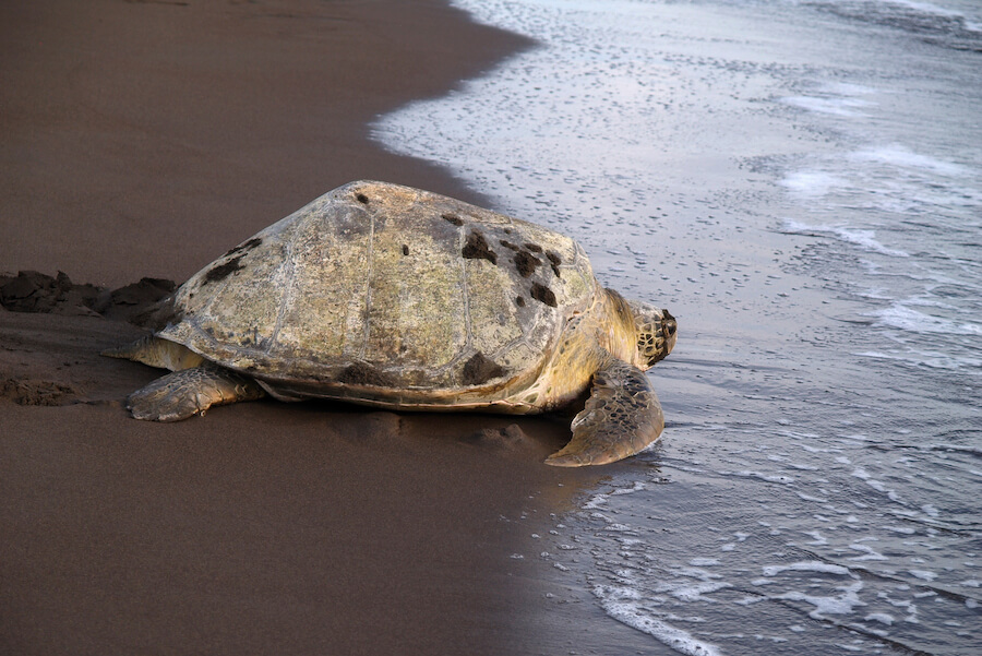 Sea turtle in Costa Rica - Best places to visit each month of the year