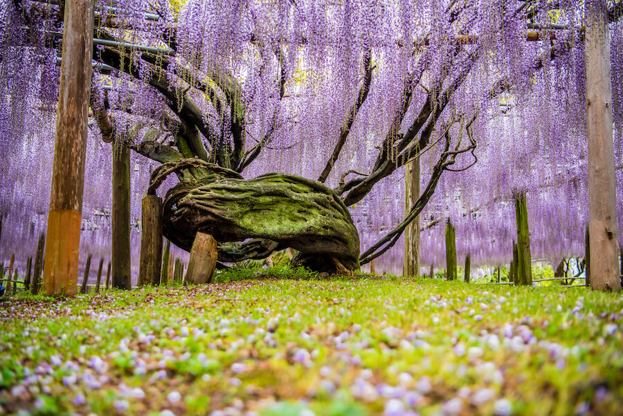 Wisteria flowers, fukuoka, japan - Best places to visit each month of the year